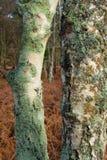 Moss Growing op Twee Boomboomstammen royalty-vrije stock fotografie