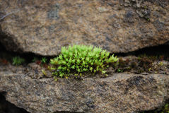 Moss Growing out of A Chink in Stone Wall. On a thickly foggy day, I waited for the bus near a wall, when I saw the moss on the stone wall. I was deeply Stock Photo