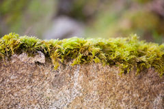 Moss growing over a stone Royalty Free Stock Photos