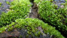 Moss. Growing on some rocks Stock Photos