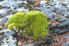 The moss growing among stones Stock Image