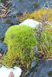The moss growing among stones Royalty Free Stock Photography