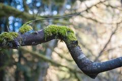 Moss Growing sur la branche d'arbre coudée en parc de Goldstream Images libres de droits