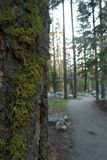 Mossy Tree on Trail. Moss growing on tree in forest on hiking trail stock images