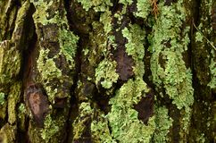 Moss growing on a tree. Green moss growing on an old Oak tree Royalty Free Stock Image