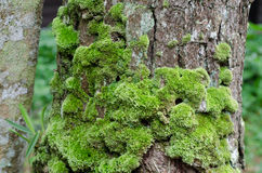 Moss growing on tree Royalty Free Stock Image