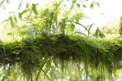 Moss-grown branch in Rainforest of Uganda. Moss-grown branch in the tropical rainforest of Uganda Royalty Free Stock Photography