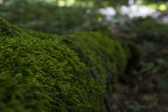 Moss-grown tree in the forest. Fallen tree in the forest all overgrown with moss Stock Photography