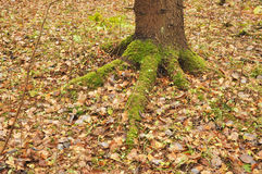 Moss grows on the roots of a tree Royalty Free Stock Photo