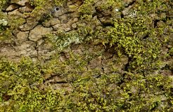 Moss grows on tree and creates texture. Moss grows heavily on the bark of this tree and creates an appealing texture royalty free stock photos
