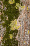 Moss grows on a tree limb. Moss, grows on a tree limb Stock Images