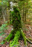 Moss grows on tree. Moss texture with autumn leaves. Moss grows on tree.  Moss texture with autumn leaves. Mossy, grass. Pictured Rocks National Lakeshore Royalty Free Stock Image