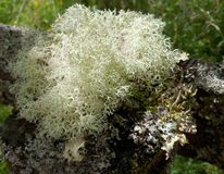 Moss Growth on Branch Detail Stock Images