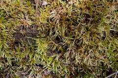 Moss Growth verde Imagem de Stock Royalty Free