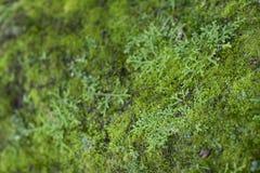 Moss Growth verde Superficie de la textura del musgo, fondo verde del musgo imagen de archivo libre de regalías
