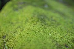 Moss Growth verde Superficie de la textura del musgo, fondo verde del musgo foto de archivo libre de regalías