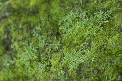 Moss Growth verde Superficie di struttura del muschio, fondo verde del muschio immagine stock libera da diritti