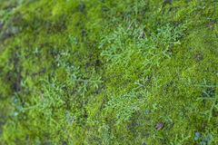 Moss Growth verde Superficie di struttura del muschio, fondo verde del muschio fotografia stock