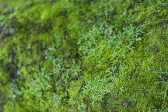 Moss Growth verde Superficie di struttura del muschio, fondo verde del muschio fotografie stock