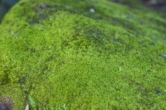 Moss Growth verde Superficie di struttura del muschio, fondo verde del muschio fotografia stock libera da diritti