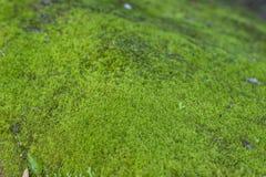 Moss Growth verde Superficie di struttura del muschio, fondo verde del muschio immagini stock libere da diritti