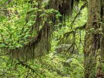 Moss hanging from a maple in the rainforest Stock Photos
