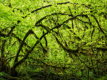 Moss hanging from a maple in the rainforest Stock Images