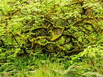 Moss hanging from a maple in the rainforest Royalty Free Stock Photography