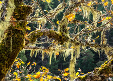 Moss hanging from oak tree branches in autumn. Green moss hangs from the branches of an old oak tree that has only a few leaves left in autumn in Oregon Stock Photos