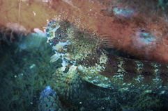 Moss Head Warbonnet Stock Photography