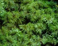 Moss Hylocomium splendens Stock Photography