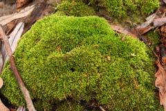 Moss i skogen Royaltyfri Fotografi
