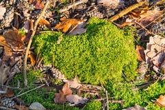 Moss i skogen Arkivfoto