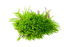 Moss isolated over white Royalty Free Stock Photo