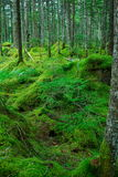 Moss and Japanese red pines Stock Images