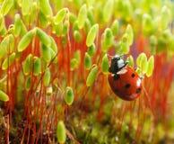 Moss and ladybird Stock Photo