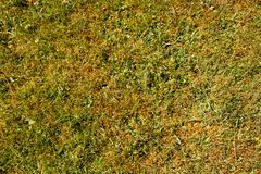 Moss in lawn Stock Photo