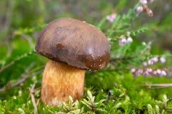 moss leśna grzybek Obraz Royalty Free