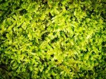 Moss Leaves Growing arkivfoto