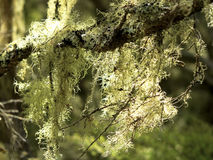 Moss and Lichen. A branch covered by lichen and moss, closeup Royalty Free Stock Photo
