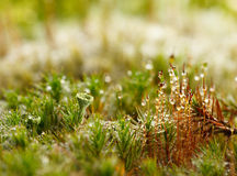 Moss and lichen covered by dew drops. Micro landscape of forest floor with moss and lichen Stock Images