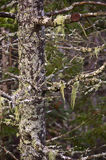 Moss and lichen covered tree. Old boreal forest tree in Salt Marsh park in Nova Scotia (Canada), covered in moss and lichen Stock Photos