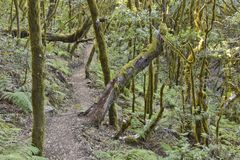Ancient forest La Gomera Canary Islands royalty free stock image