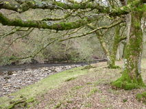 Moss Lichen covered trees overhanging a river. A view of Moss and Lichen covered trees with branches overhanging a stony riverbed Stock Photo