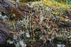 Moss and lichen. Royalty Free Stock Photo