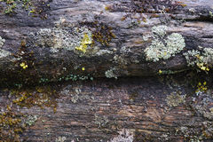 Moss and lichen. Royalty Free Stock Images