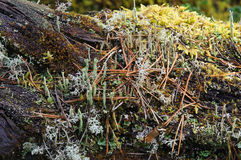 Moss and lichen. Royalty Free Stock Image