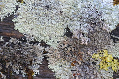Moss and lichen. Stock Image