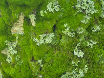 Moss and lichen Royalty Free Stock Images