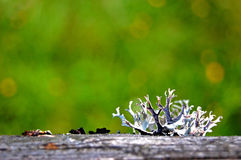 Moss, lichen grew up on a wooden surface on a green background Royalty Free Stock Image